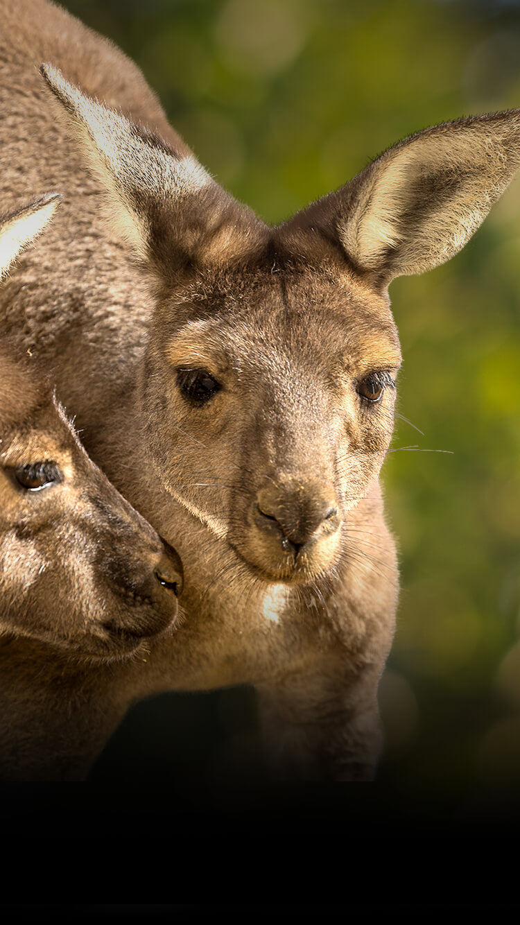 A pair of gray kangaroos in front of blurred bushes.