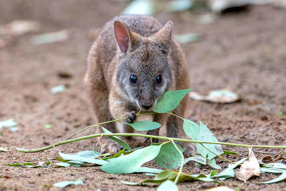 Kangaroo And Wallaby San Diego Zoo Animals Plants