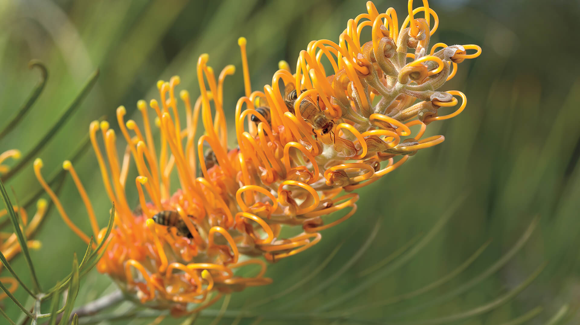 Yellow grevillea with bees.