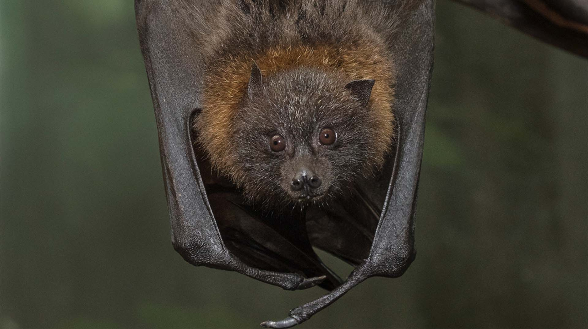 Lucas, a Rodrigues fruit bat