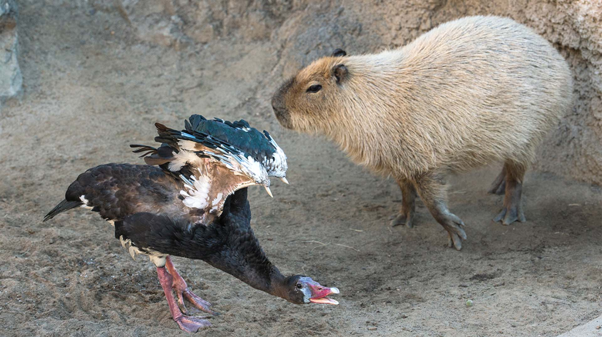 Capybara and African spur-winged goose