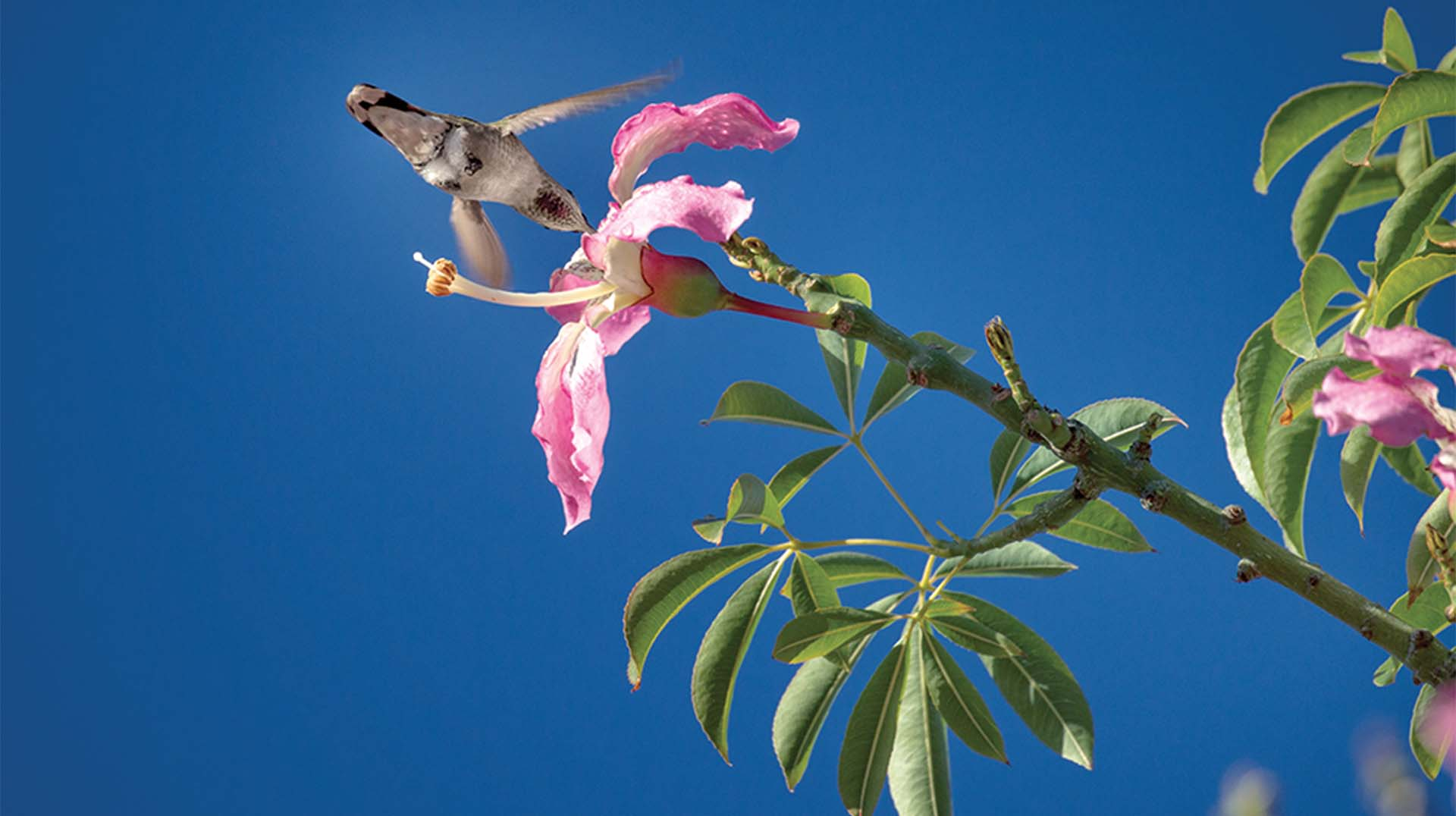 Floss silk tree and hummingbird