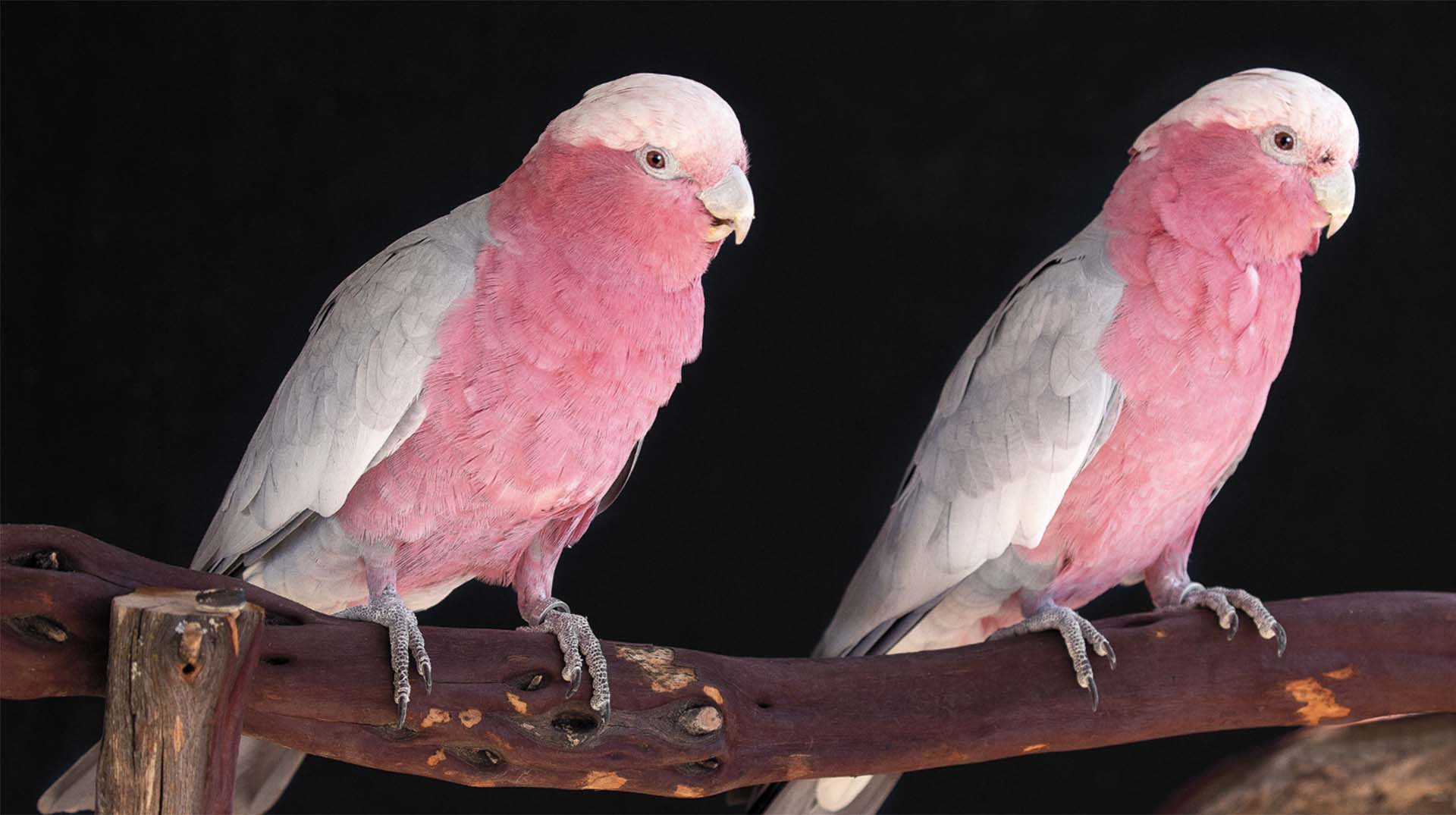 Galahs or rose-crested cockatoos