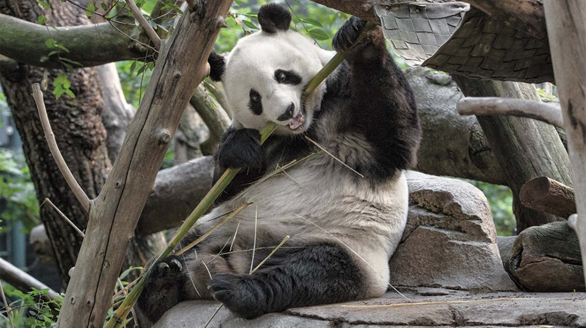 Giant panda munching on bamboo