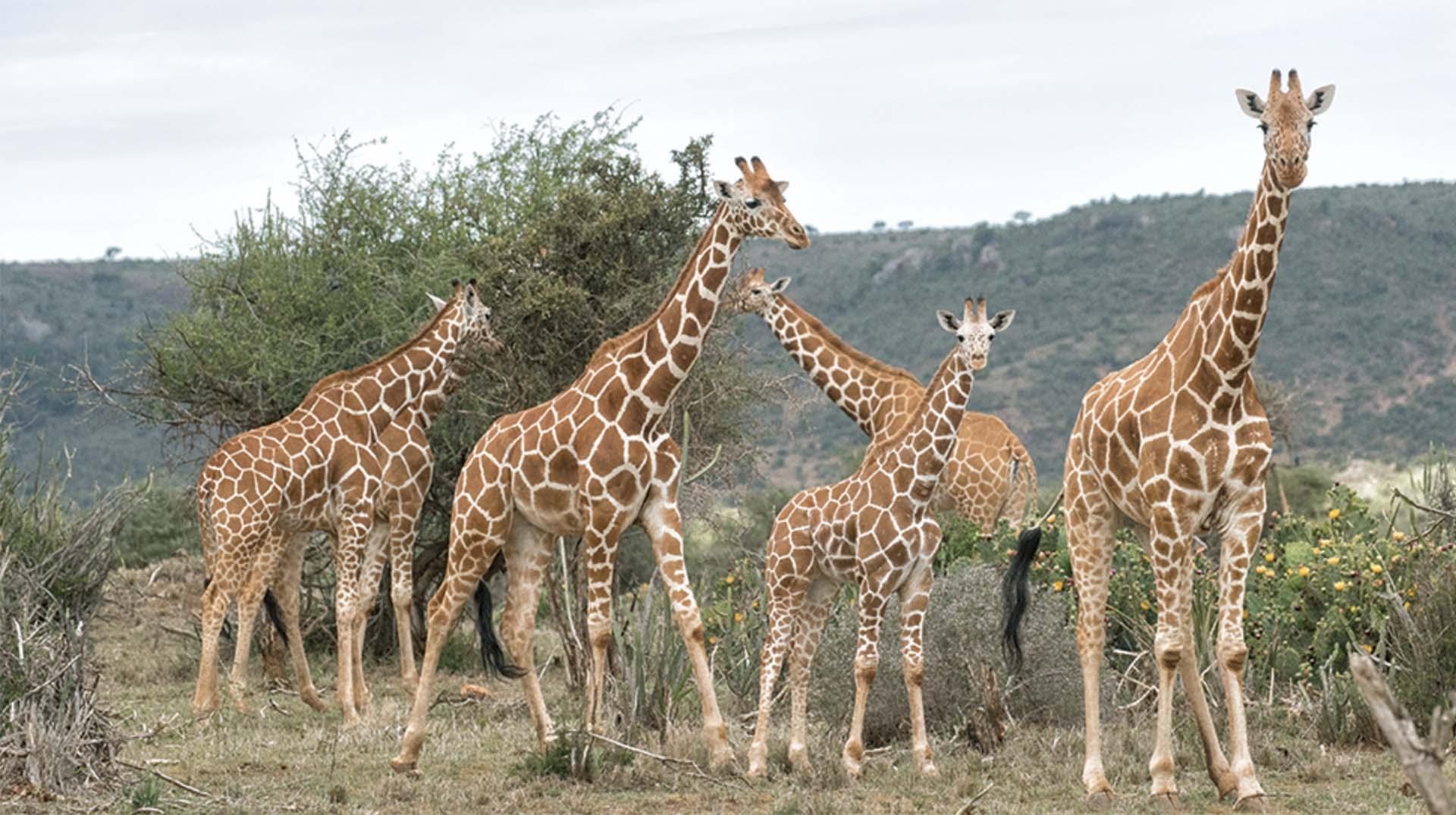 Baby Vest I Love Giraffes heart