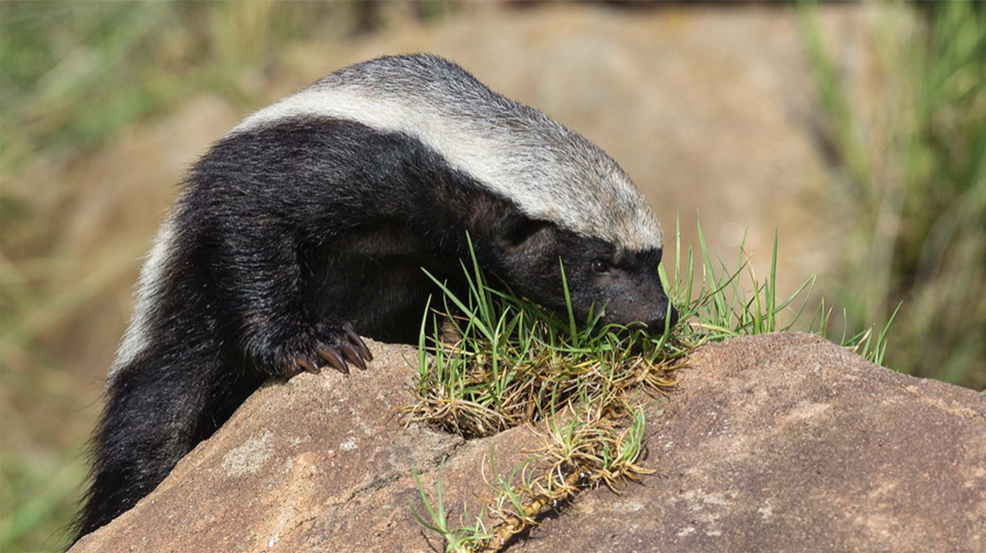 Honey Badger (Ratel) | San Diego Zoo Animals & Plants