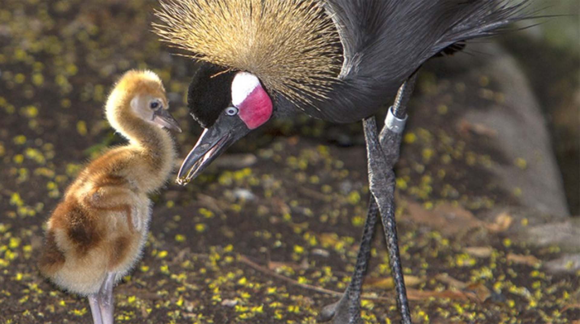 West African crowned crane adult and East African crowned crane chick