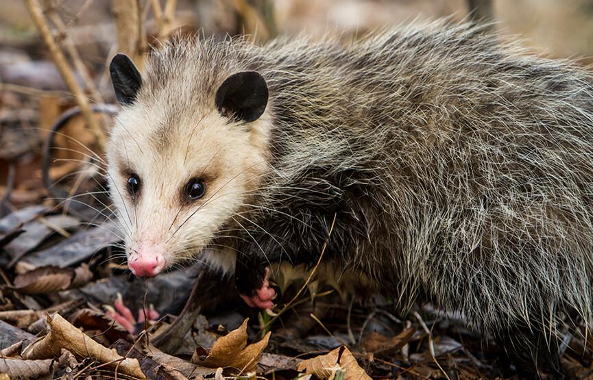 Opossum | San Diego Zoo Animals & Plants