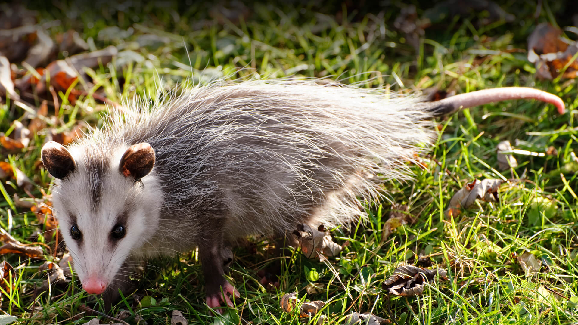 Opossum | San Diego Zoo Animals & Plants