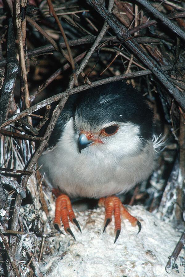 African Pygmy Falcon | San Diego Zoo Animals & Plants