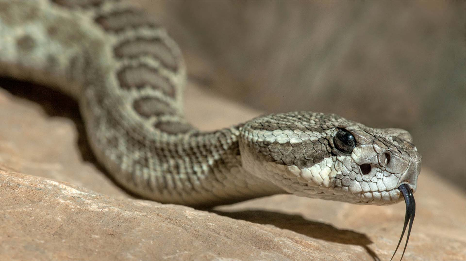 Rattlesnake | San Diego Zoo Animals & Plants