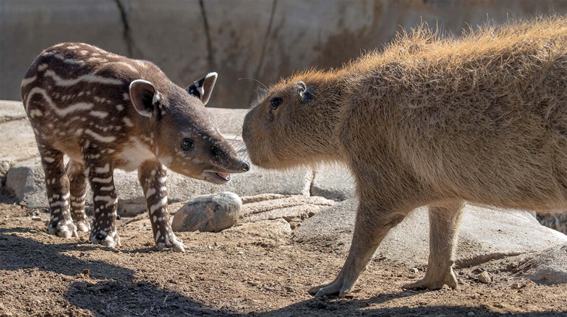 Young Baird's tapir Don meets a capybara