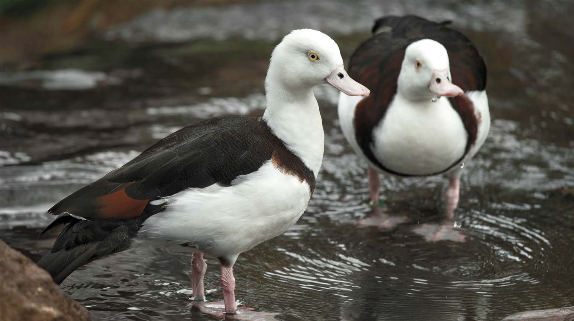 Radjah shelducks at Walkabout Australia