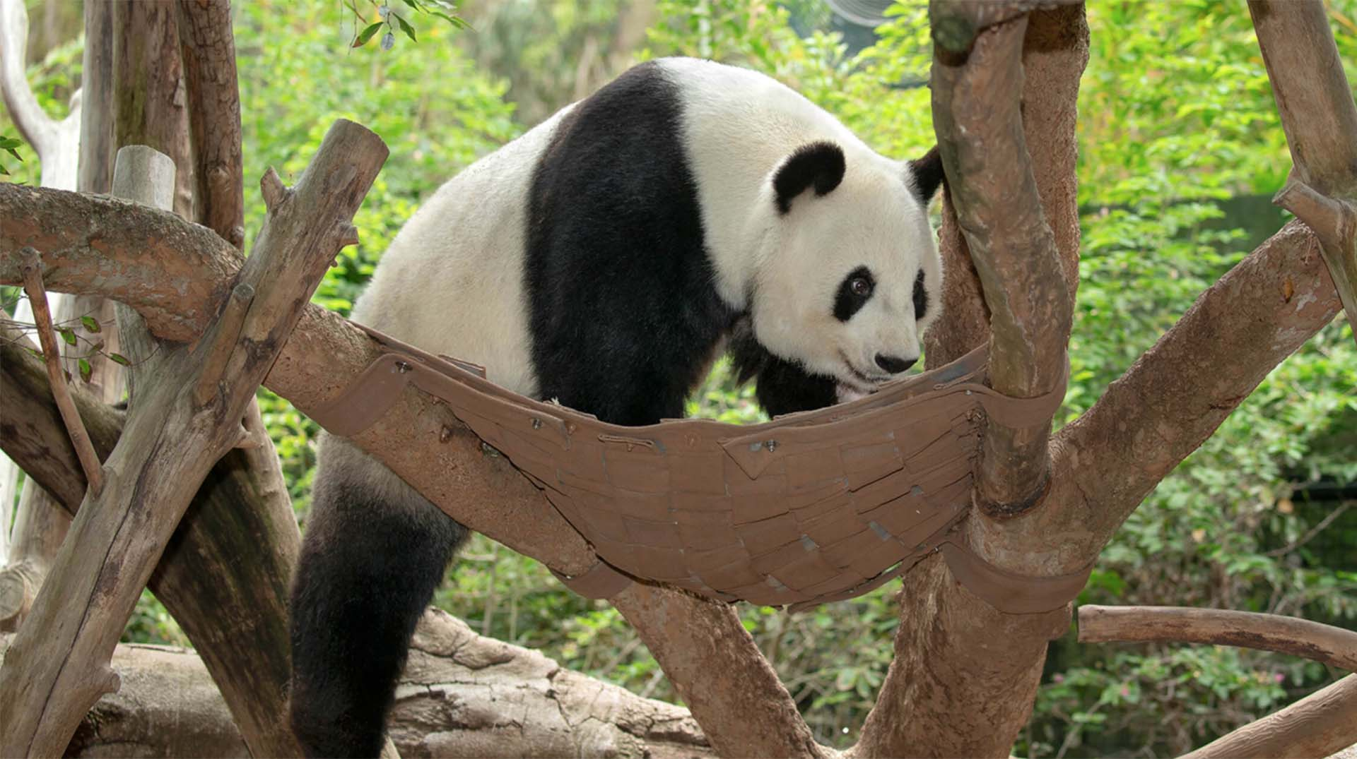 Giant panda with enrichment