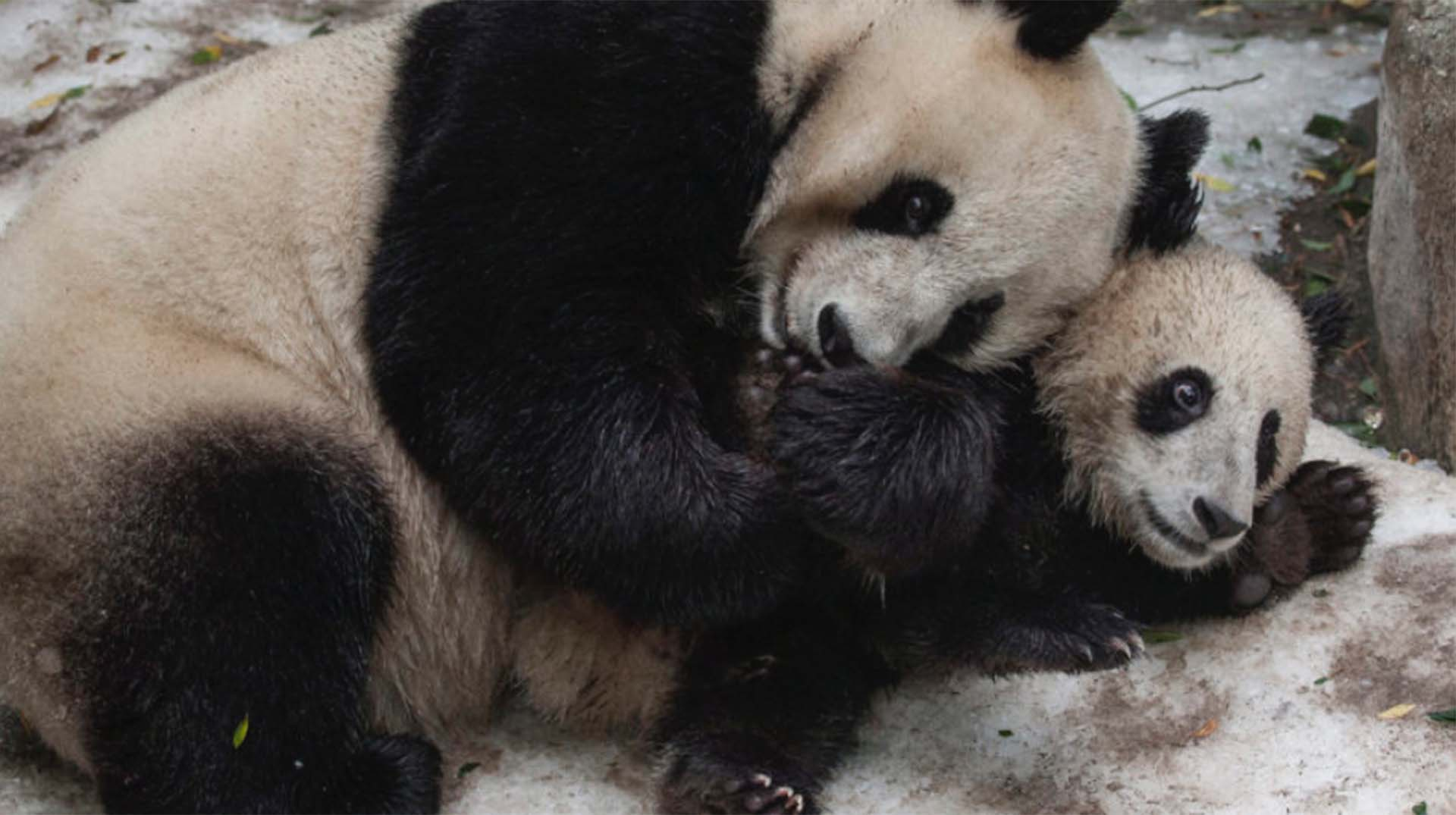 Giant Panda   San Diego Zoo Animals & Plants