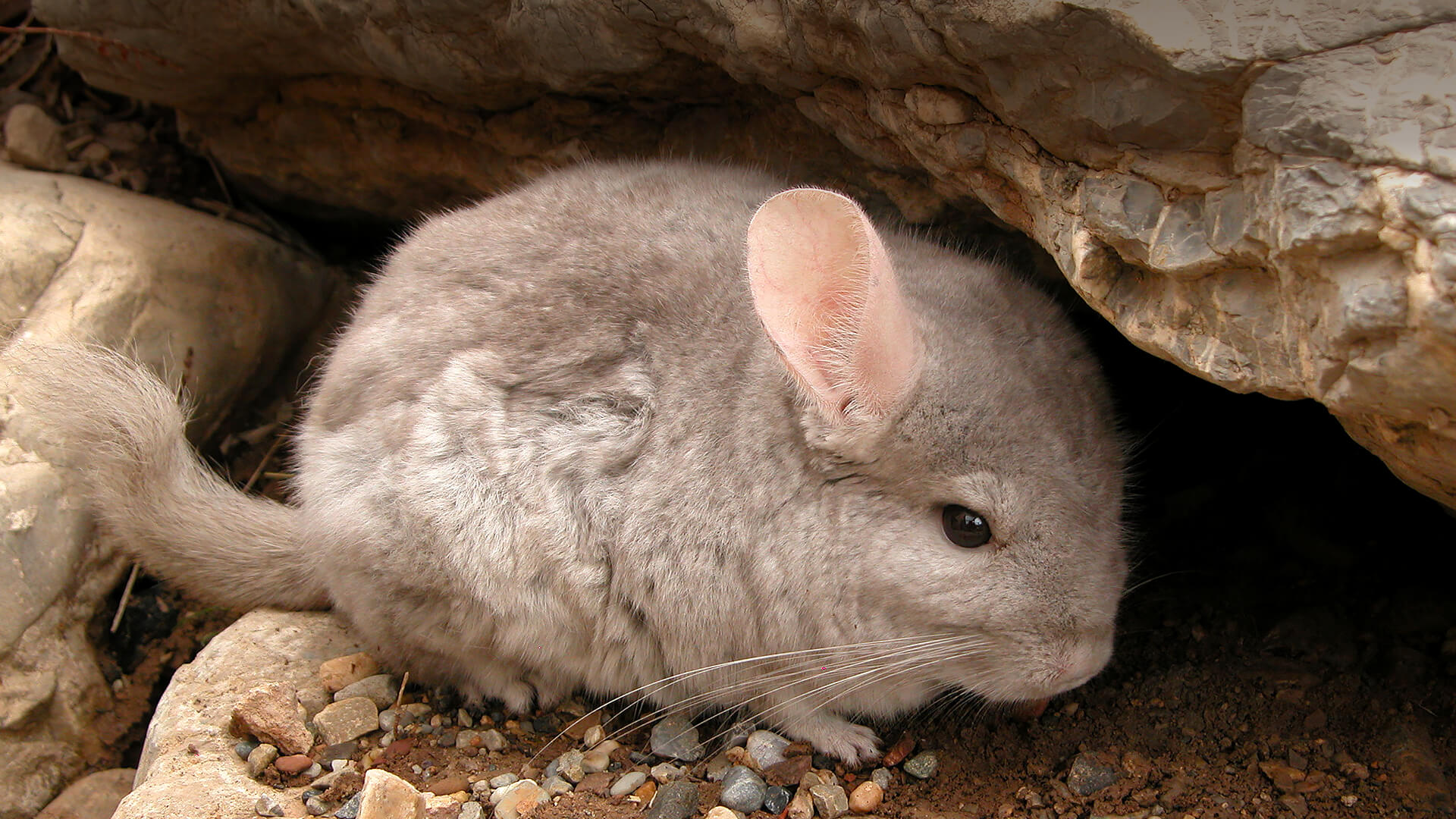 Wild short-tailed chinchilla