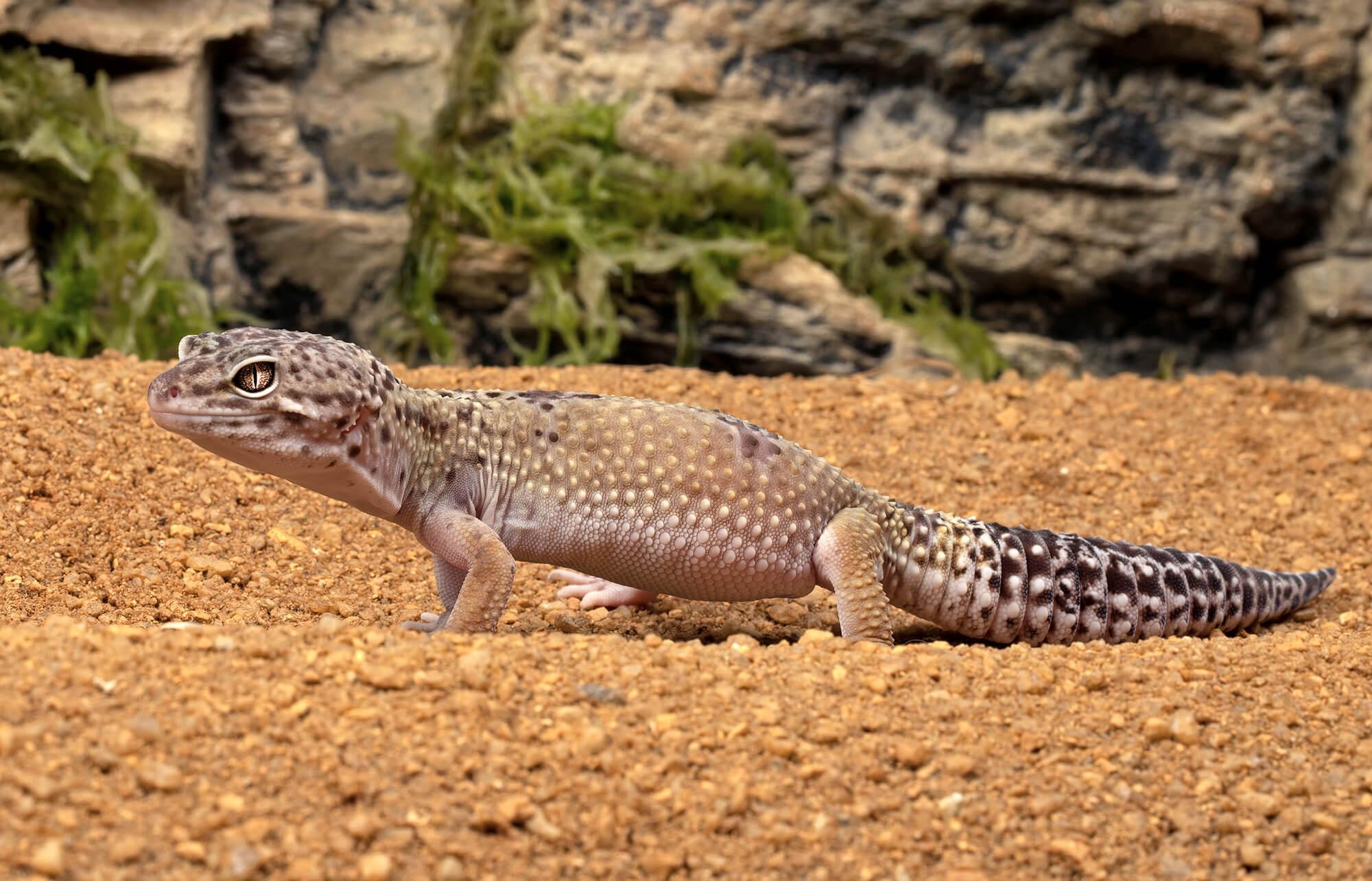 Leopard Gecko San Diego Zoo Animals Plants