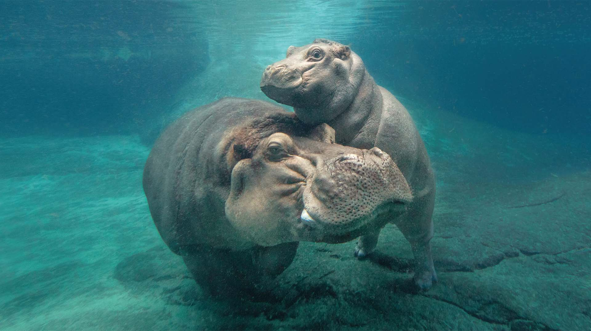 San Diego Zoo hippo Funani and her son Tony play underwater