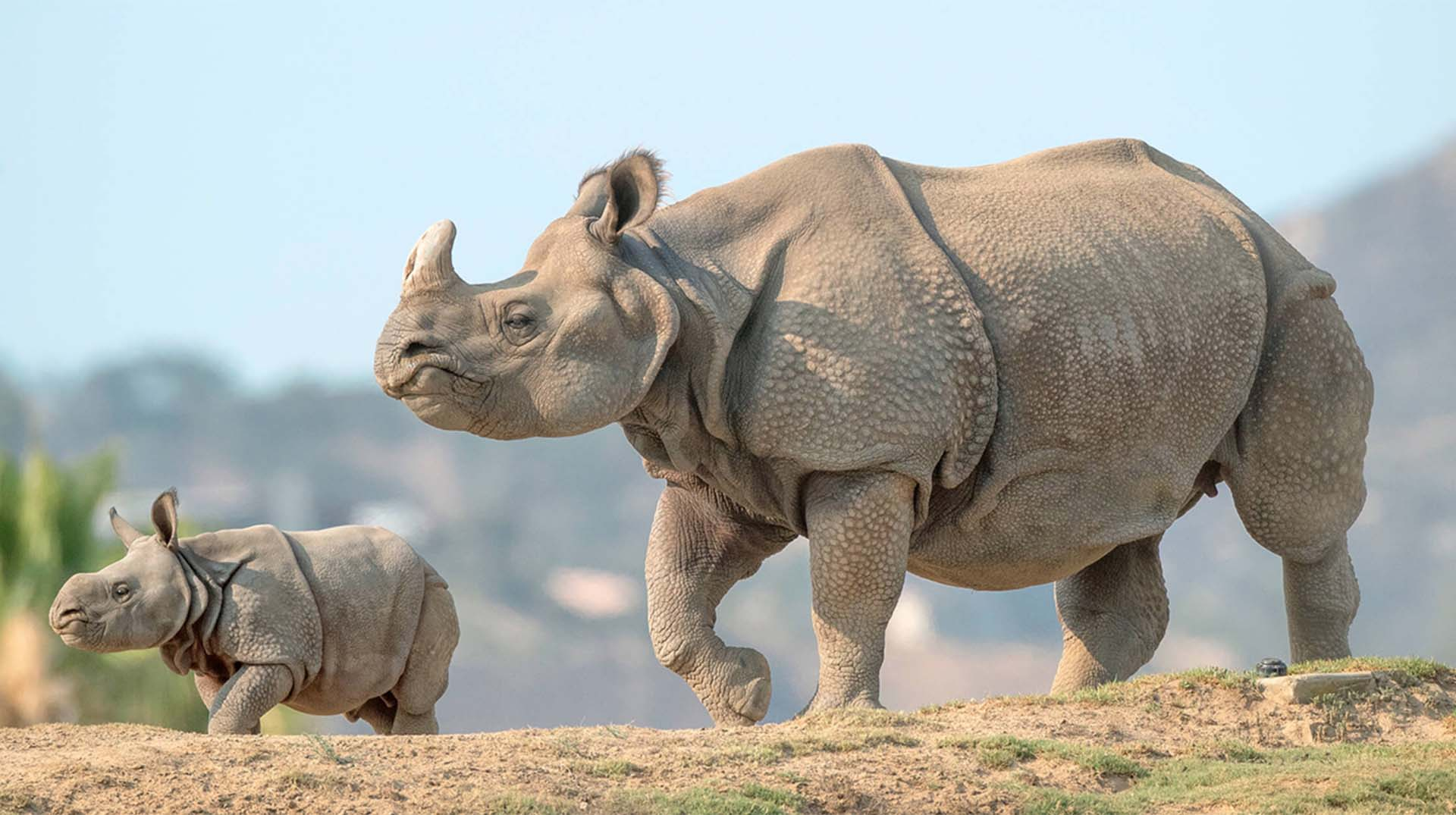 Greater one-horned rhino mother and calf