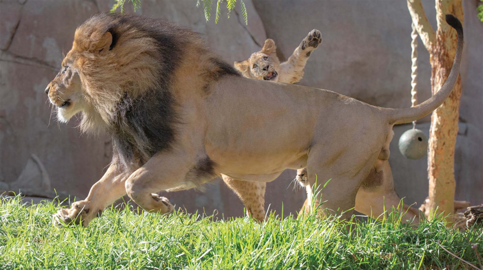 Male lion and cubs
