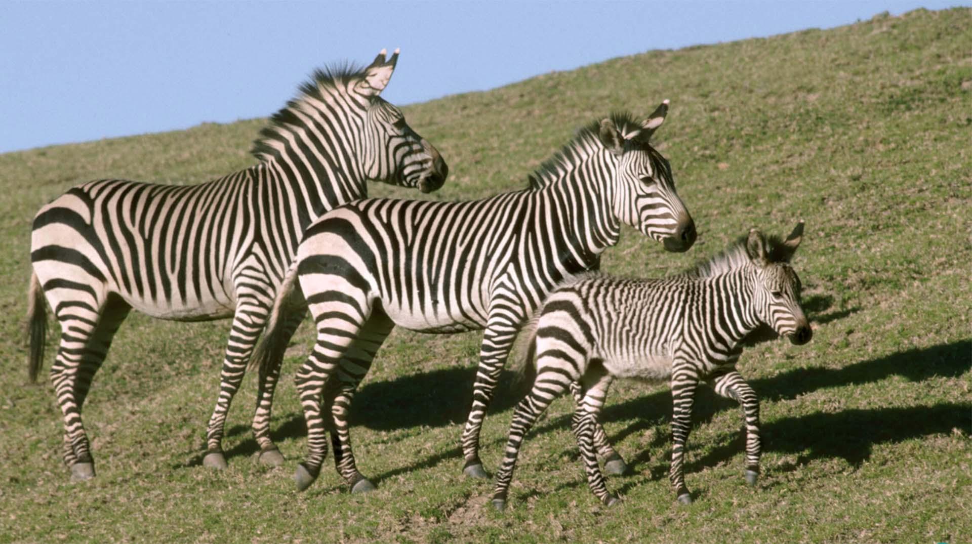Zebra | San Diego Zoo Animals & Plants