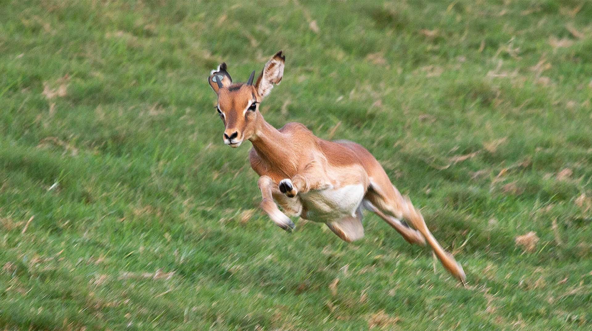 Antelope | San Diego Zoo Animals & Plants