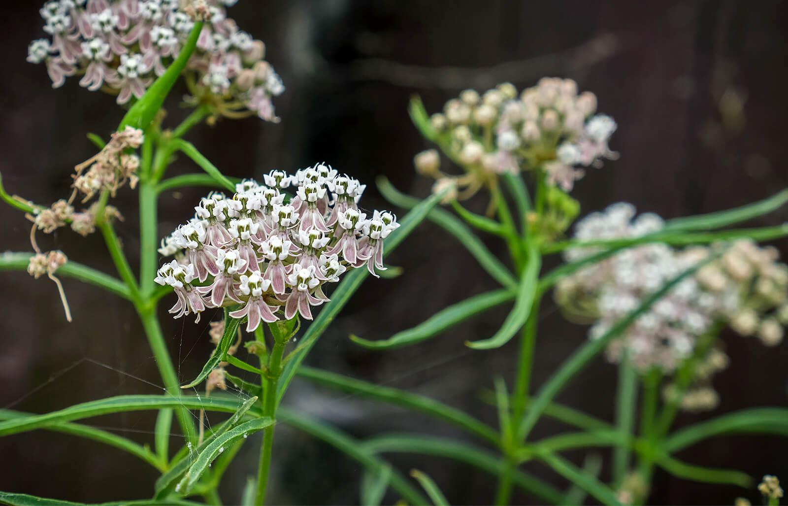 Offer Up San Diego >> Milkweed | San Diego Zoo Animals & Plants