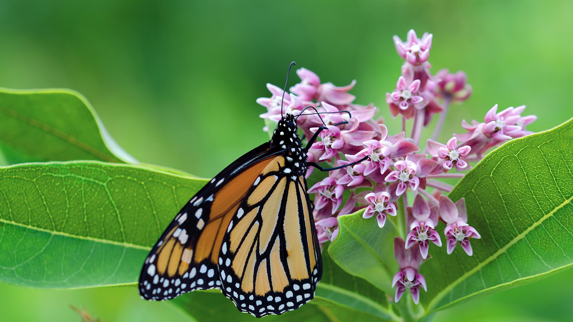 Monarch butterfly drinking nectar from milkweed flowers.