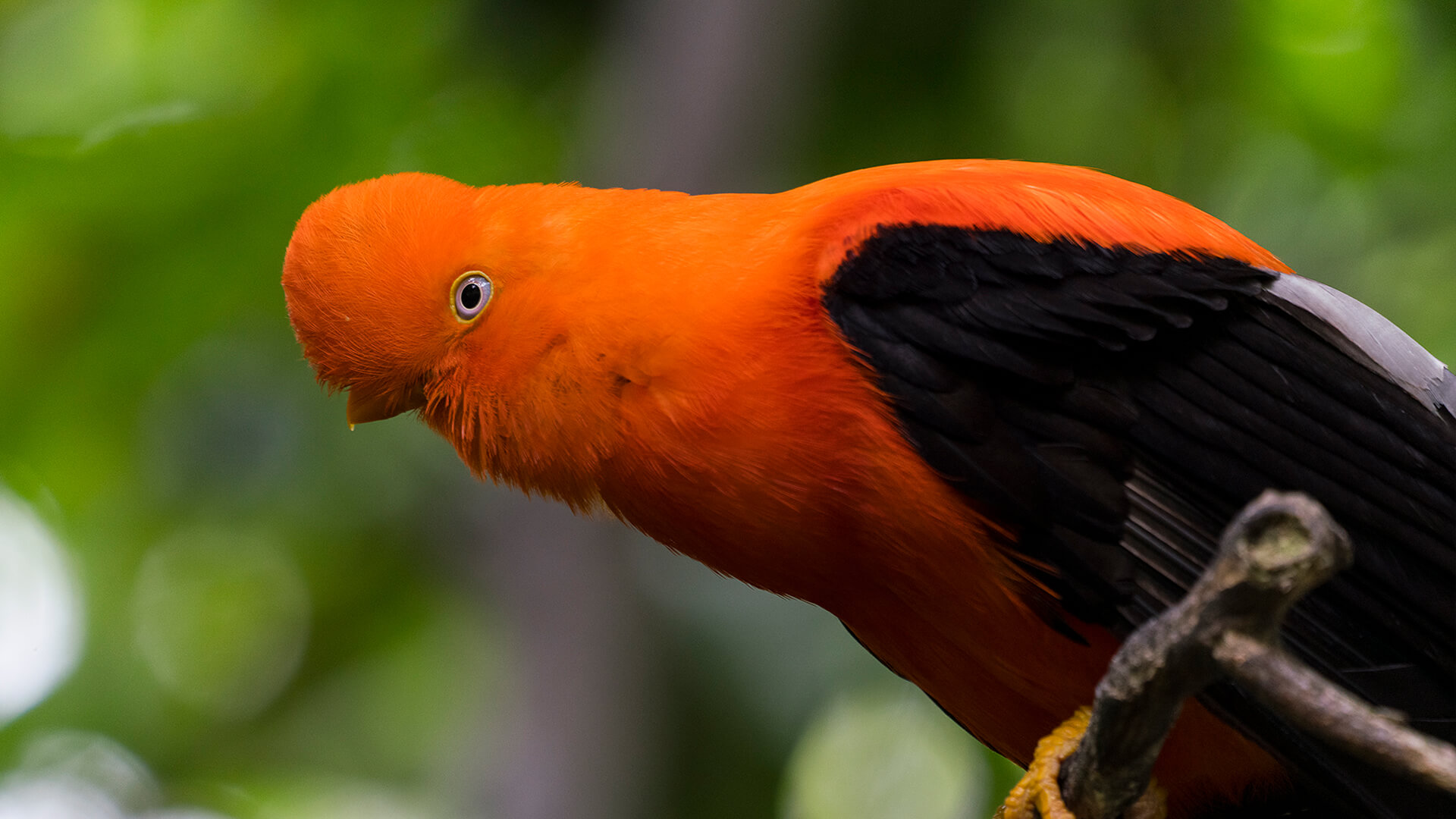 Male cock-of-the-rock