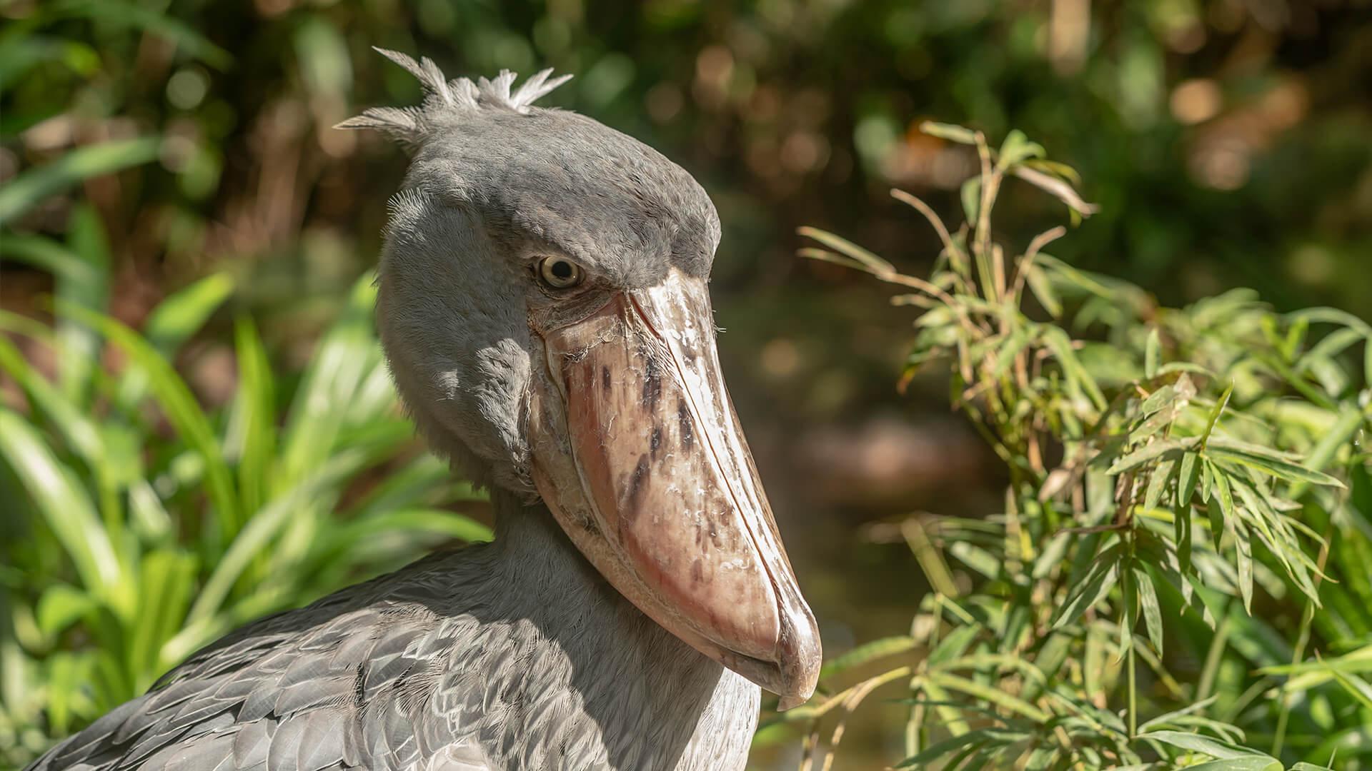 Shoebill   San Diego Zoo Animals & Plants