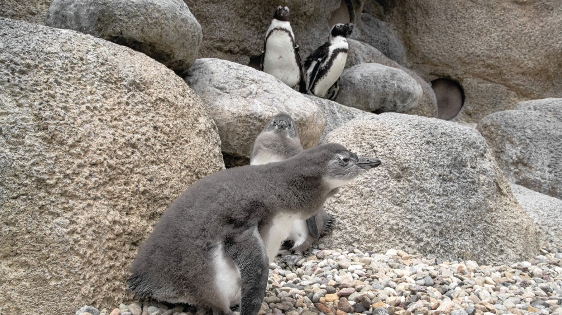 Growing young African penguins at San Diego Zoo