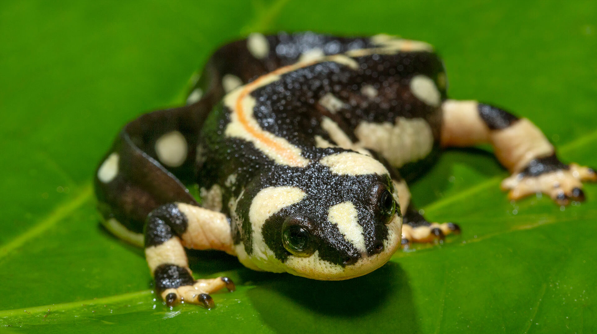 European fire salamander