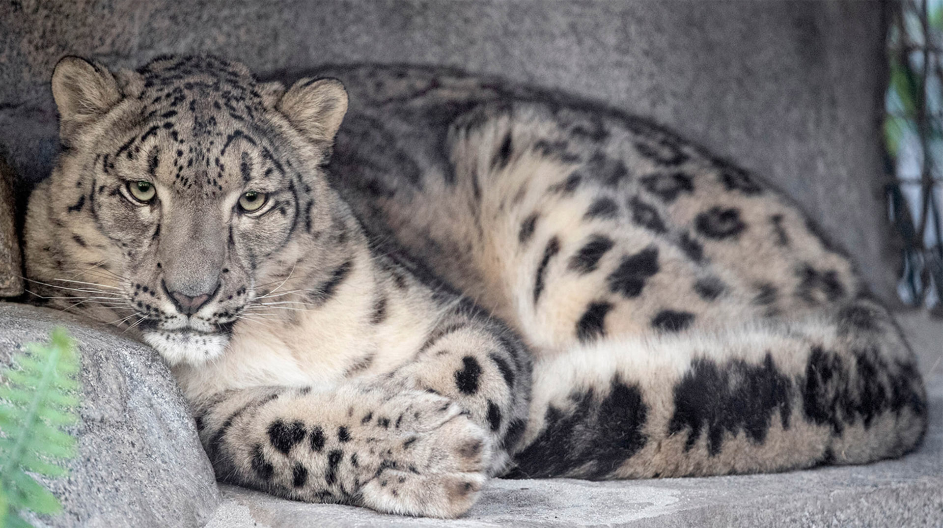 Snow Leopard at San Diego Zoo