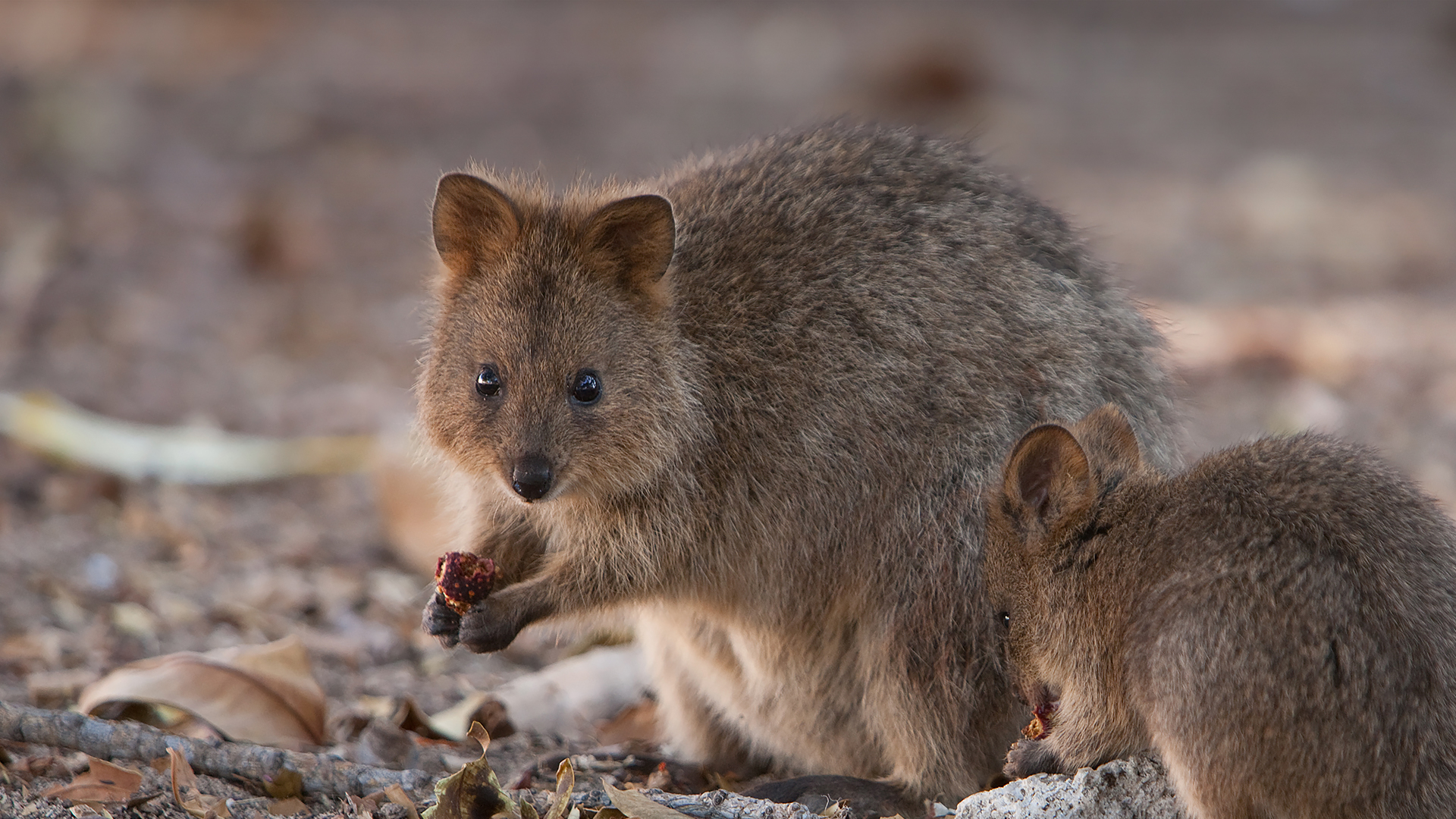 Quokka mom and baby eating fruit.