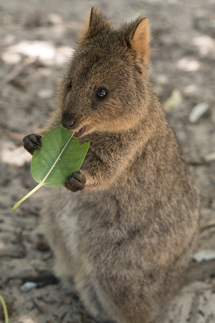 Quokka | San Diego Zoo Animals & Plants
