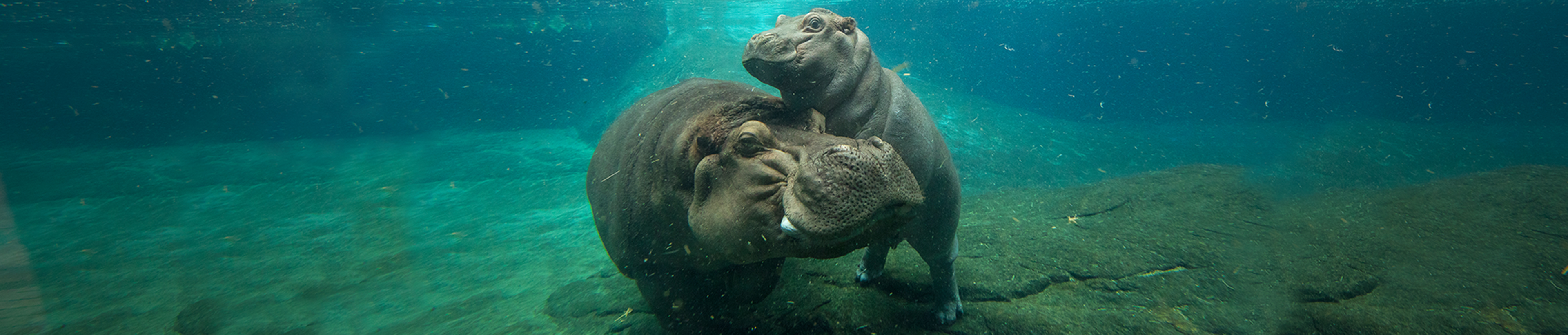 hippo mom and baby