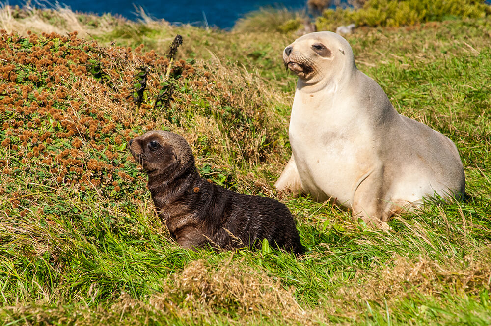 Hooker's sea lion with a pup
