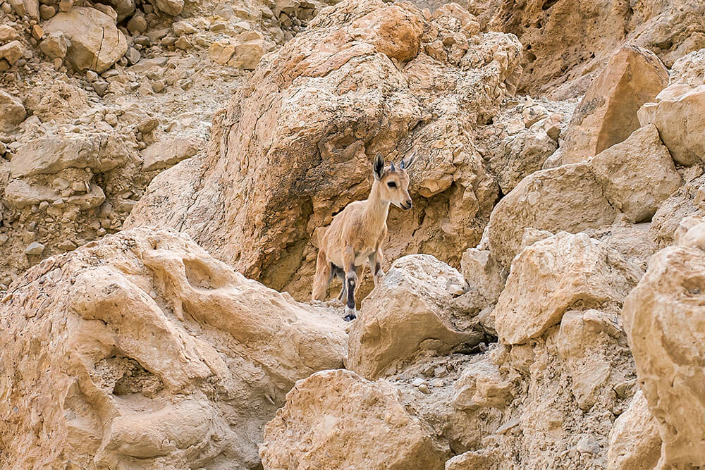 Nubian ibex baby on rocky cliff