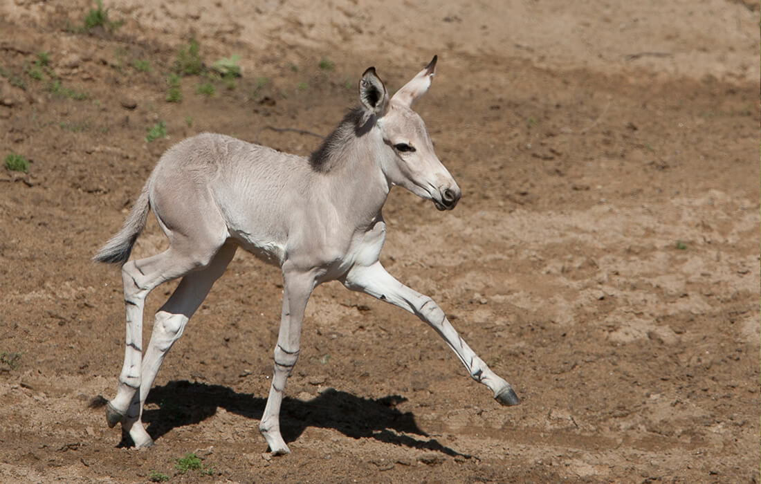 A young Somali wild ass foal practices walking on uneven muddy ground