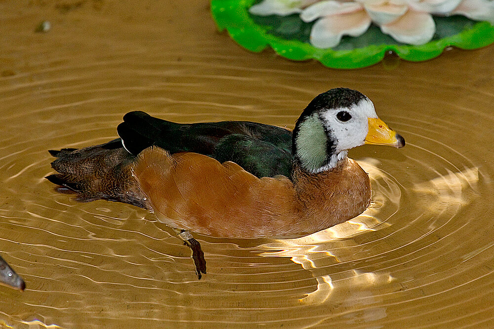 Male African pygmy goose
