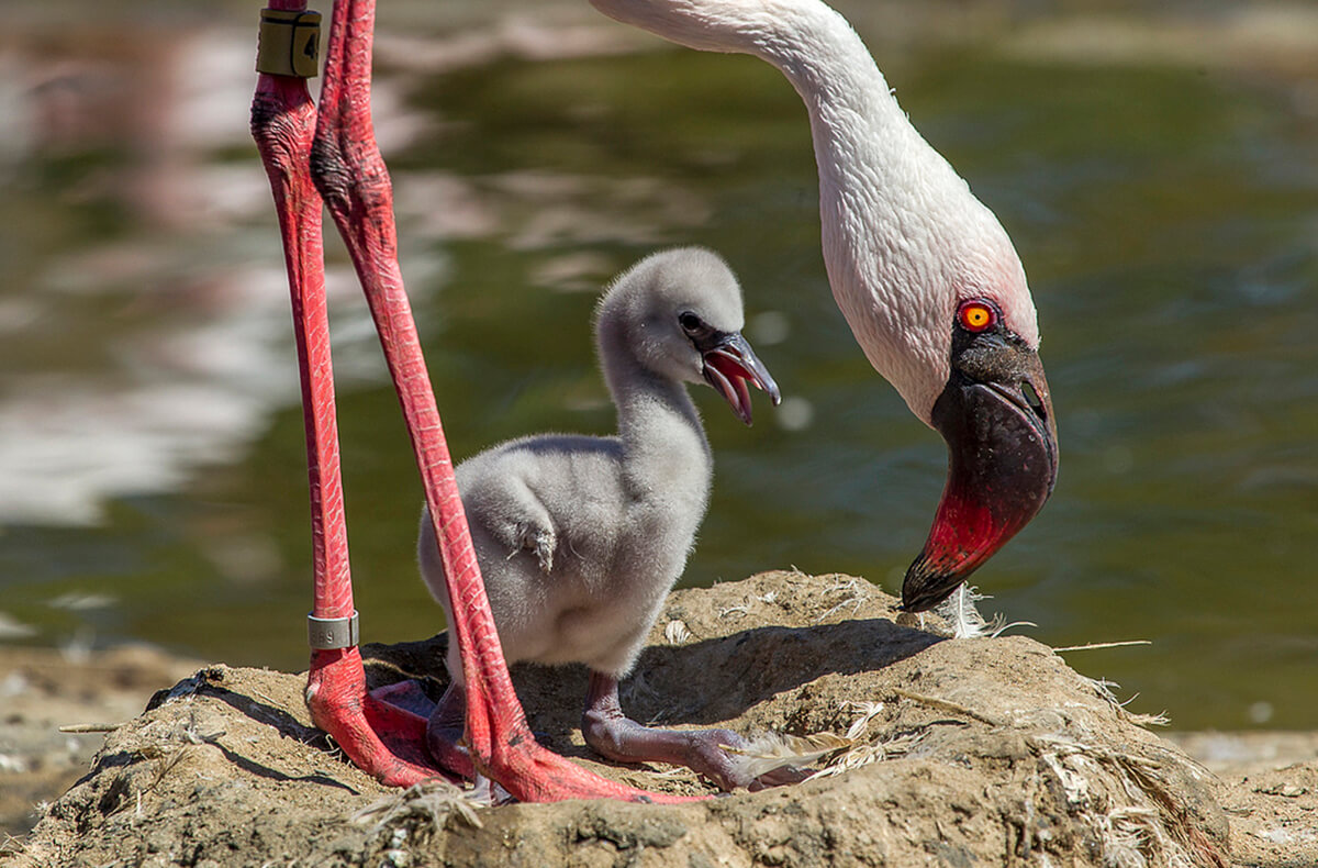 Lesser flamingo with young chick