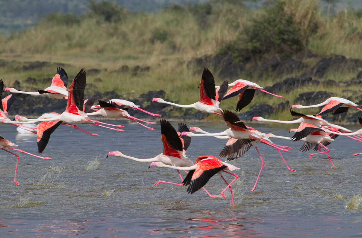 Lesser flamingos taking off from a lake in Kenya