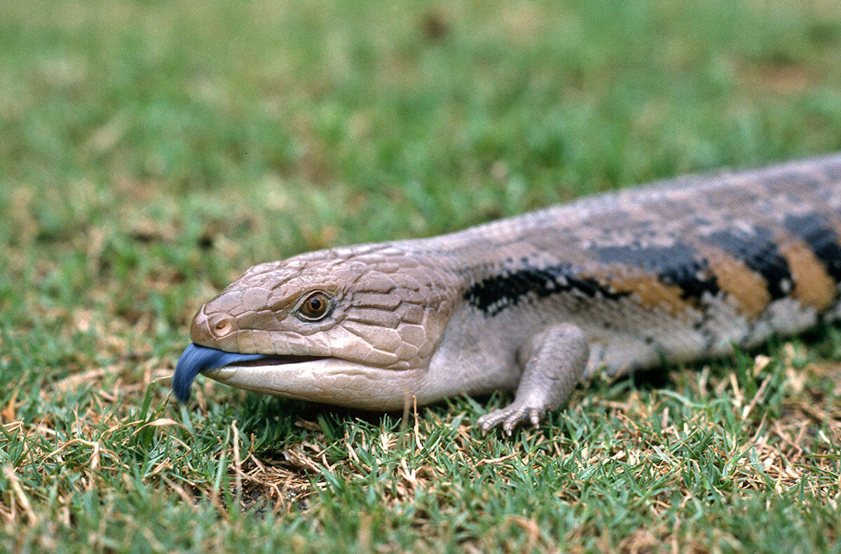 Blue-tongued skink walking on grass