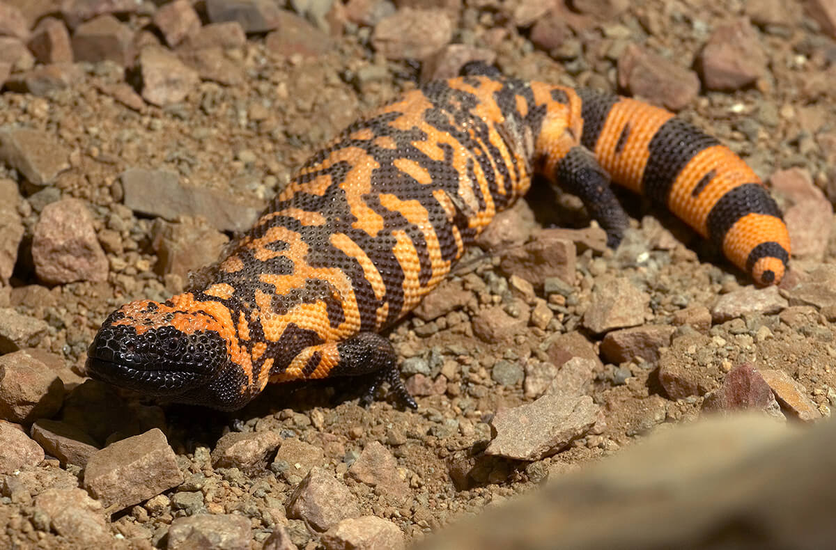 Gila monster laying on rocky dirt
