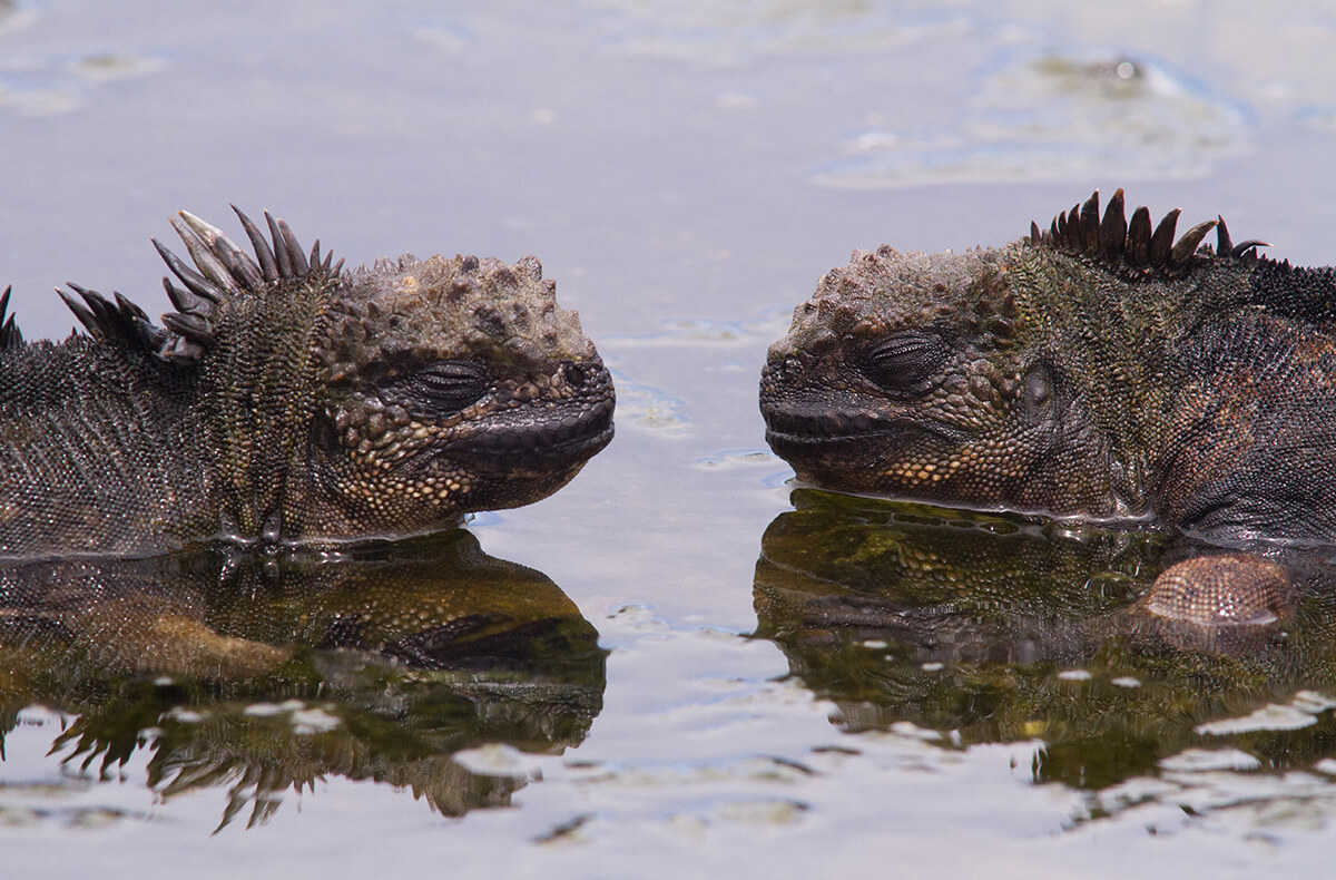 A pair of sleepy Galapagos marine iguanas half submerged in a shallow tide pool