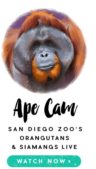 Watch San Diego Zoo's Orangutans and Siamangs live on Ape Cam.