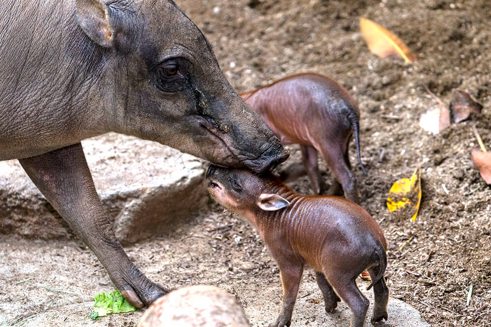 Babirusa mom and two piglets