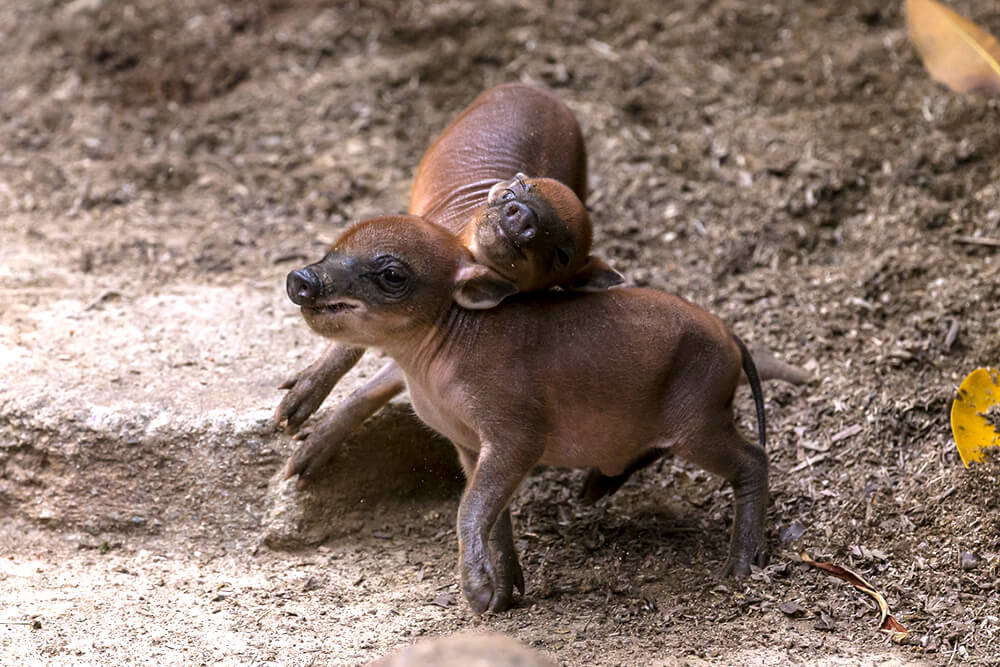 Barbirusa piglets playing