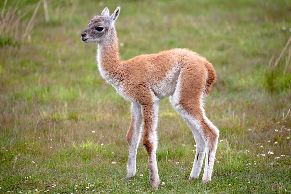 A baby guanaco stands on a grass field