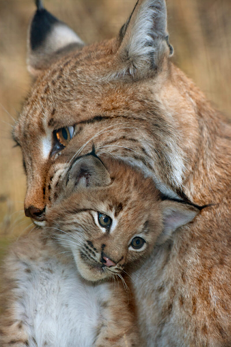 Mother lynx carrying kitten in her mouth